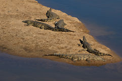 Crocodiles at Crocodile river, Kruger National Park Stock Photos