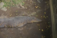Crocodiles. In zoos who are sleeping during the day Stock Images