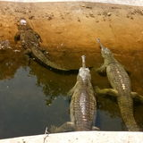 Crocodiles cup. Race begins ready Royalty Free Stock Image