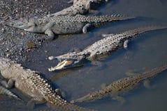 Crocodiles d'eau de mer Photo libre de droits