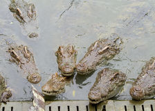 Crocodiles d'eau douce Image libre de droits