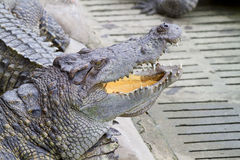 Crocodiles d'eau douce Photographie stock libre de droits