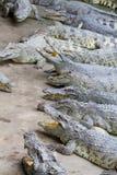 Crocodiles d'eau douce Images stock