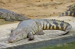 Crocodiles d'eau douce Images libres de droits