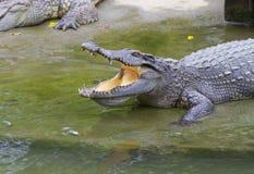 Crocodiles d'eau douce Photos libres de droits