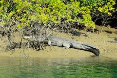 Crocodiles d'eau salée Image libre de droits