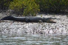 Crocodiles d'eau salée Images libres de droits