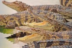 Crocodiles Royalty Free Stock Photo