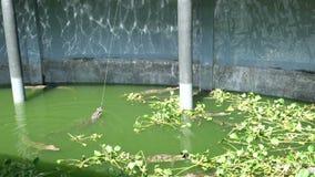 Crocodiles dans l'aquarium clips vidéos