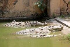Crocodiles dans l'Inde Images libres de droits