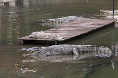 Crocodiles dans le grand étang de la ferme de crocodile Image libre de droits