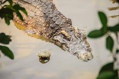Crocodiles de accouplement à la berge boueuse Croco masculin et femelle Photos stock