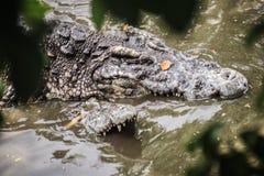 Crocodiles de accouplement à la berge boueuse Croco masculin et femelle Image libre de droits