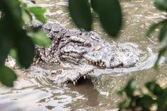 Crocodiles de accouplement à la berge boueuse Croco masculin et femelle Images libres de droits