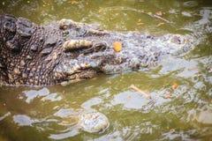 Crocodiles de accouplement à la berge boueuse Croco masculin et femelle Photographie stock