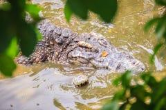 Crocodiles de accouplement à la berge boueuse Croco masculin et femelle Photo stock
