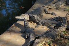 Crocodiles de l'Afrique image stock