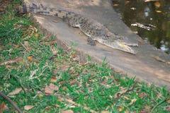 Crocodiles de l'Afrique photographie stock