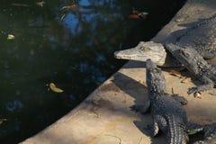 Crocodiles de l'Afrique images libres de droits