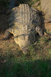 Crocodiles de l'Afrique Photos libres de droits