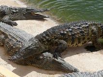 Crocodiles du Nil Photo stock