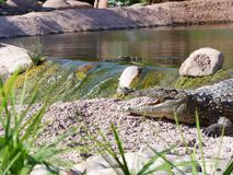 Crocodiles du Nil Images stock