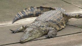 Crocodiles du Nil banque de vidéos