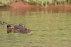Crocodiles du Nil, en parc national de Chobe, le Botswana Photos libres de droits