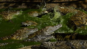 CrocodileS eating in a river. CrocodileS or alligators in a river of a natural park or zoo stock video