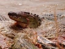Crocodiles feasting in the Mara River Stock Image