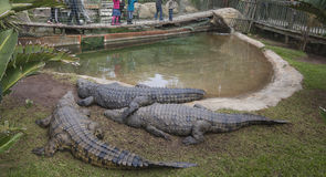 Crocodiles in enclosure Royalty Free Stock Image
