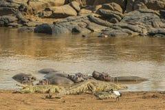 Crocodiles et hippopotames Photographie stock libre de droits