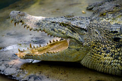 Crocodiles in a farm Royalty Free Stock Photography
