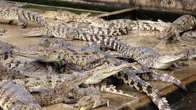Crocodiles in the farm stock video footage