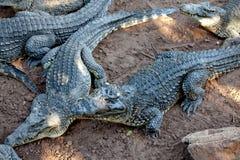 Crocodiles from farm near the Playa Larga, Cuba Royalty Free Stock Photos