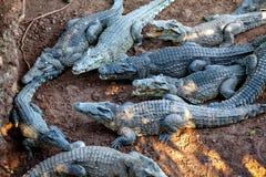 Crocodiles from farm near the Playa Larga, Cuba Royalty Free Stock Image