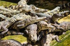 A crocodiles in a farm,Thailand. Crocodie is feeding , Alligator feeding in zoo royalty free stock images