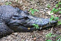 Crocodiles on the farm in Ubud. Animals of Indonesia. royalty free stock photos