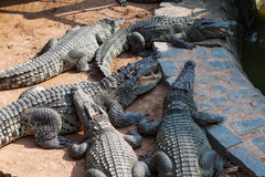 Crocodiles in the farm at Vietnam Royalty Free Stock Image