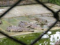 Crocodiles In the Farm , Zoo Thailand stock photography