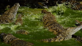 Crocodiles fighting in a river of a natural park. Crocodile or alligator in a river of a natural park or zoo stock video