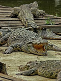 Crocodiles Are Getting a Tan Royalty Free Stock Photography