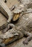 Crocodiles Stock Image