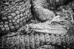 Crocodiles in group Stock Images