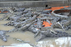 Crocodiles are grown for meats, skins and for entertaining travelers and tourists in a farm in An Giang, a province in the Mekong Royalty Free Stock Photos
