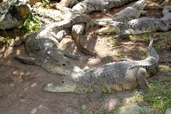 Crocodiles having a sun bath in South America Royalty Free Stock Image