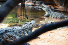 Crocodiles from a hidden point of view Stock Photo