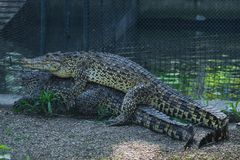 Crocodiles joignant au zoo de Belgrade Photo stock