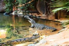 Crocodiles in the jungle. Stock Image