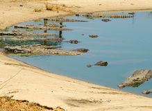 Crocodiles - Kariba Lake, Zimbabwe. Crocodiles sunbathing in the water - Kariba Lake, Zimbabwe Stock Images